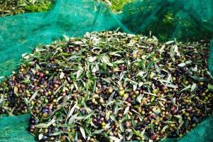 Rund um das Olivenöl